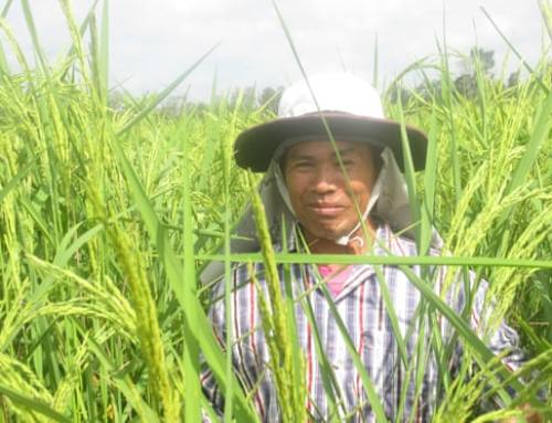 The Miracle Method for Sustainable Rice – and Bigger Harvests